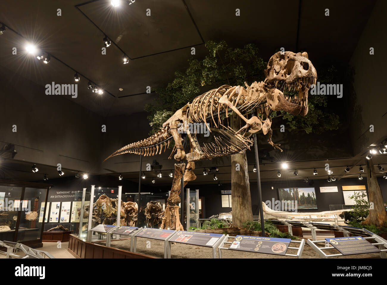 EDITORIAL, 12 July 2017, Bozeman Montana, Museum of the Rockies, Tyrannosaurus Rex Fossil Exhibit - Stock Image