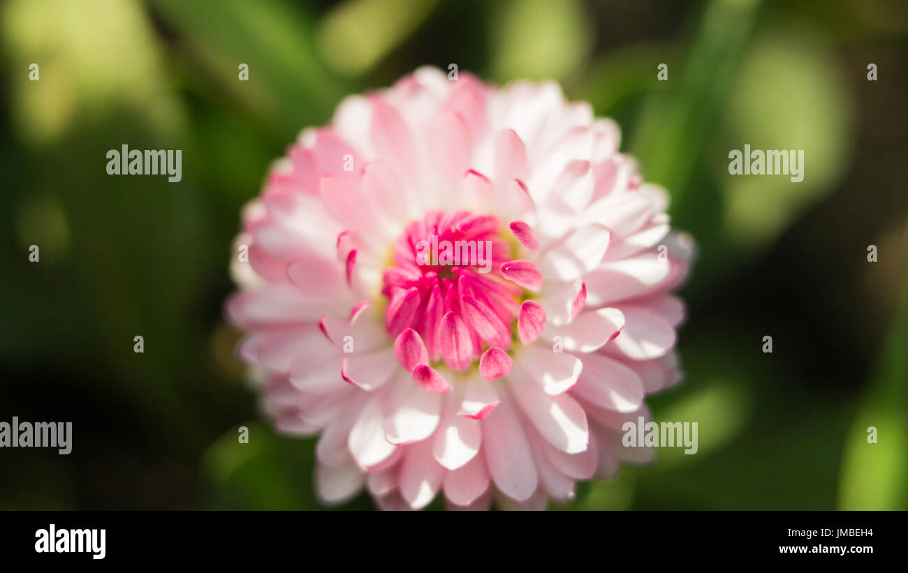 Pink daisy field stock photos pink daisy field stock images alamy a daisy flower on a green background one field daisy in the field of gerbera izmirmasajfo