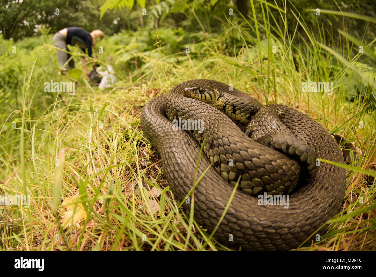 A grass snake remains hidden in the grass as a person goes about their business in the background. - Stock Image