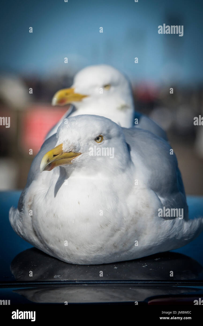 Herring Gulls resting on car roof at Whitby, North Yorkshire - Stock Image