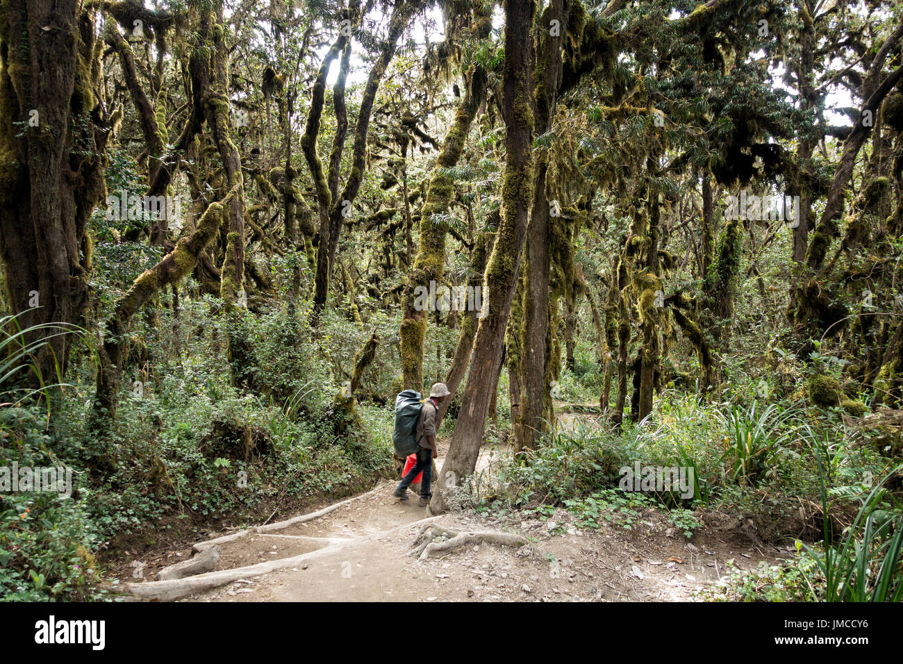 Porter descends trail through rainforest below Mweka Camp, Kilimanjaro National Park, Tanzania Stock Photo
