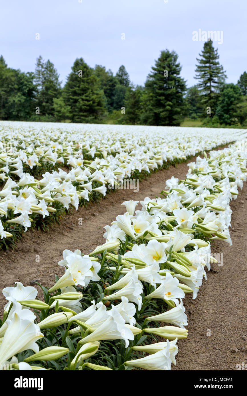 Easter Lilies 'Lilium longiflorum' , rows of flowering  Easter Lilies growing on the cool California North Coast. - Stock Image