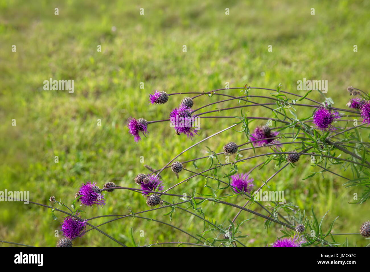 National Flower Of Scotland Stock Photos National Flower Of