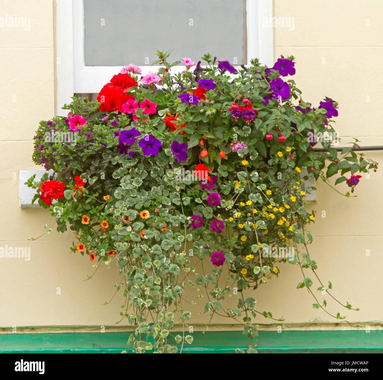 Flowering plants, purple & red petunias, yellow daisies, orange calibrachoas, red fuchsias & geraniums, variegated foliage in window box by cream wall - Stock Image