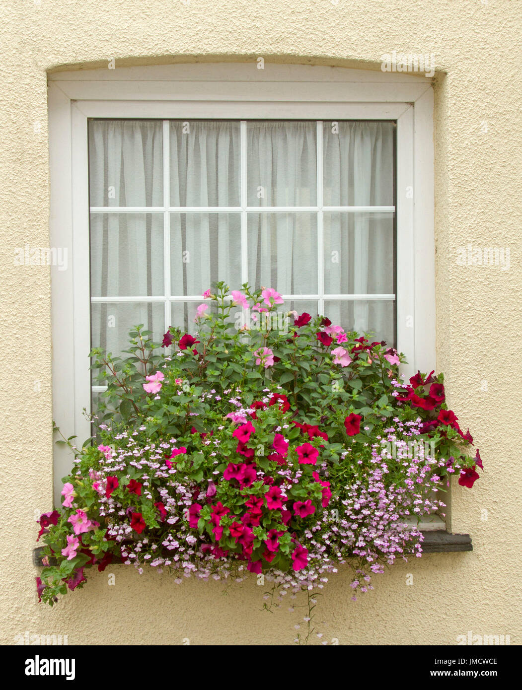 Mass of vivid coloured flowers, inc. dark red and pink petunias and pink lobelia flowers with emerald green foliage in window box against cream wall - Stock Image