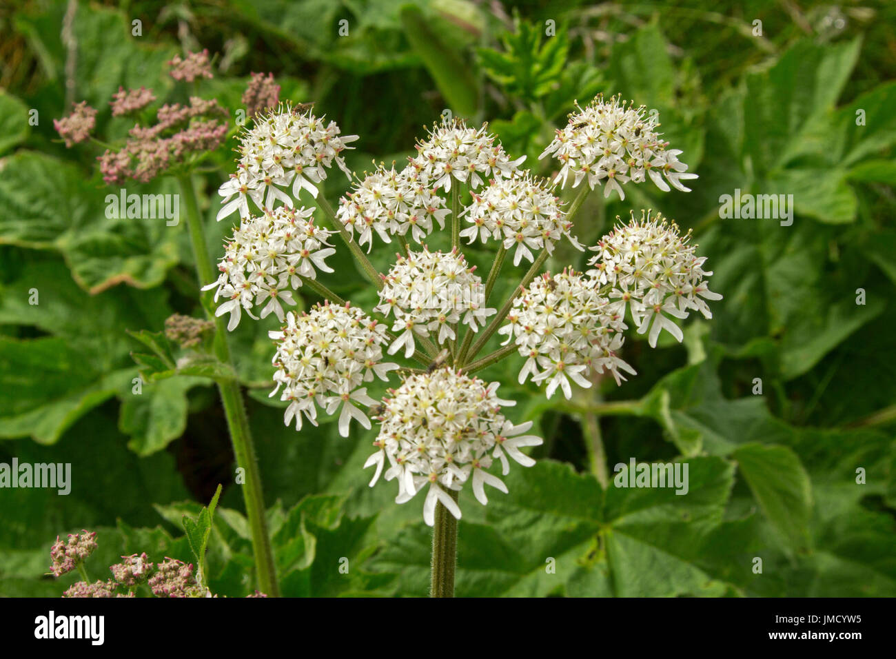 Common wild british flowers and weeds stock photos common wild panoramic view of cluster of creamy white flowers and emerald foliage of hogweed heracium sphondylium mightylinksfo