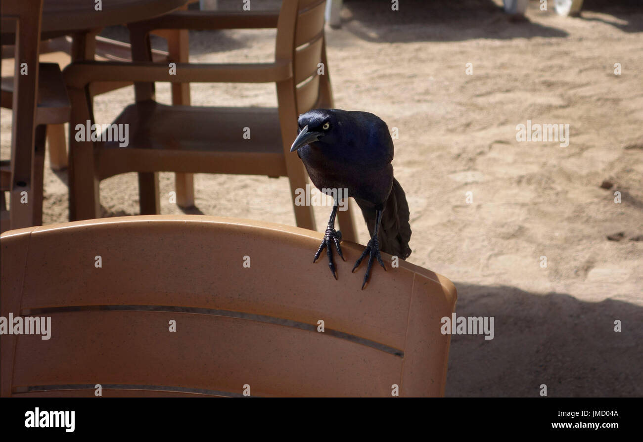 A male Great-tailed Grackle, Blackbird, Cozumel, Mexico - Stock Image