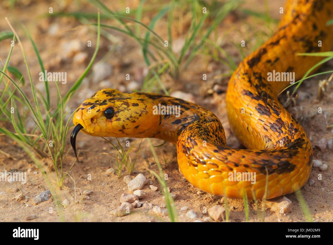 Kapkobra, Kap-Kobra ( Naja nivea) zuengelnd. Cape Cobra (Naja nivea). During the rainy season with green grass. - Stock Image
