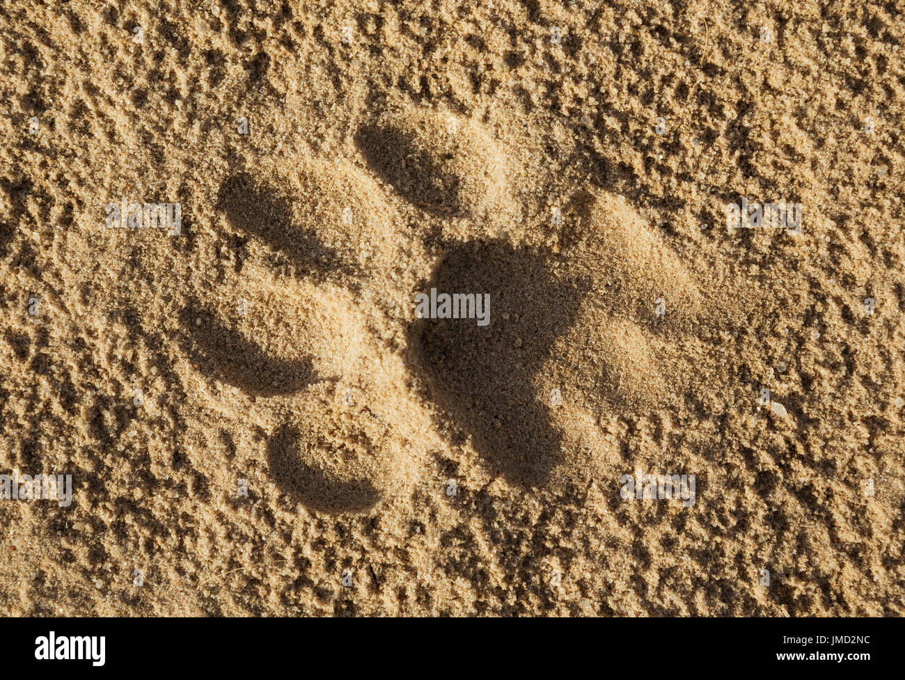 Lion (Panthera leo), female foodprint on the dust road - Stock Image
