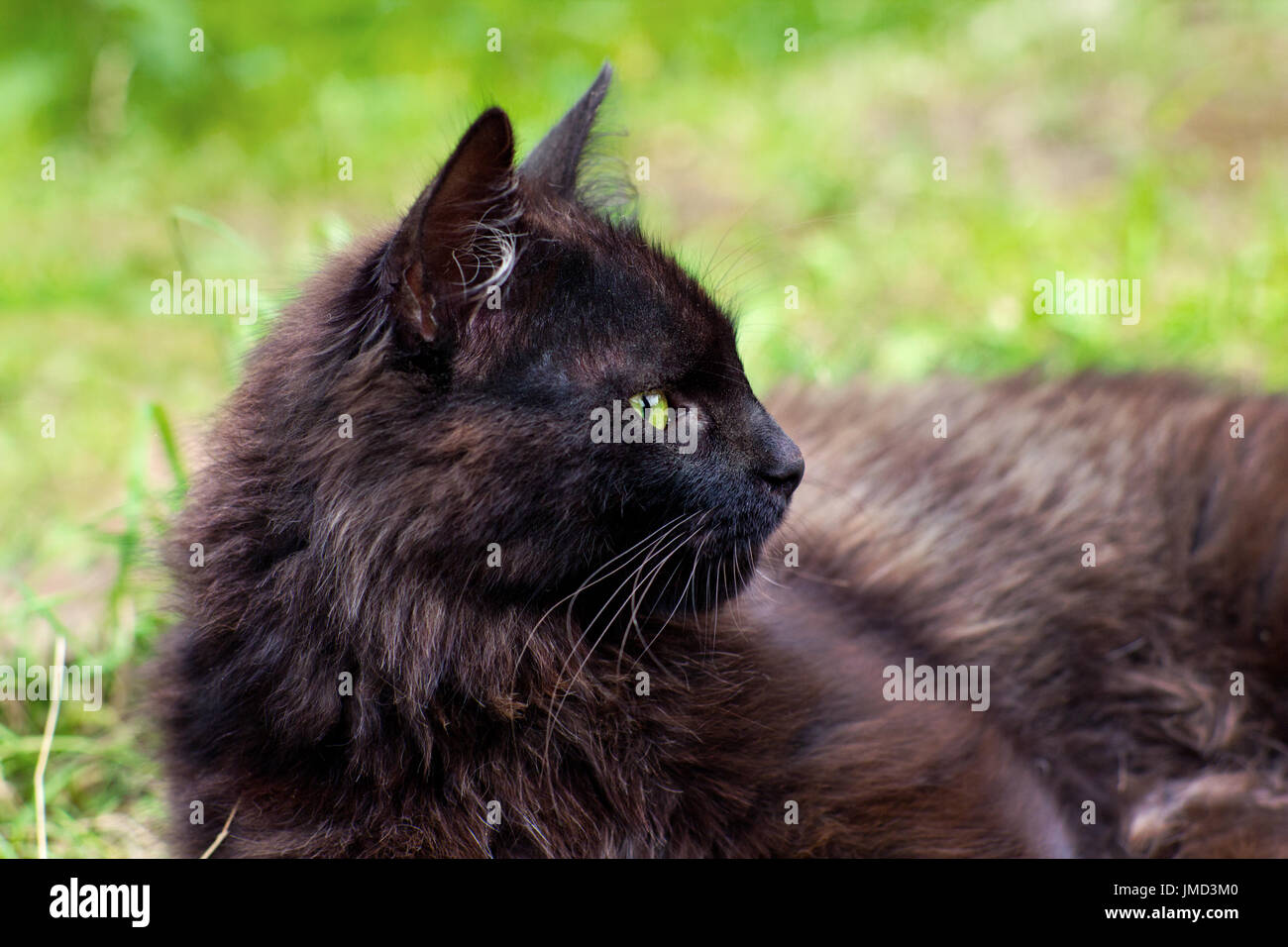 Close-up portrait of dark brown cat outdoors Stock Photo