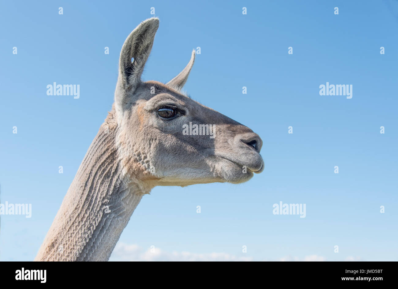 head and neck of a Llama from a low view point Stock Photo