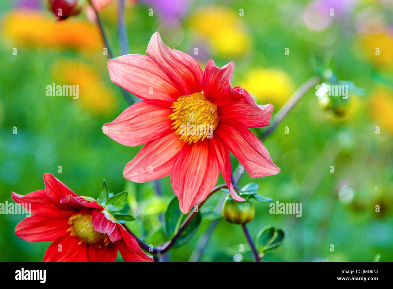 Red Dahlia With Yellow Center Stock Photos Red Dahlia With Yellow