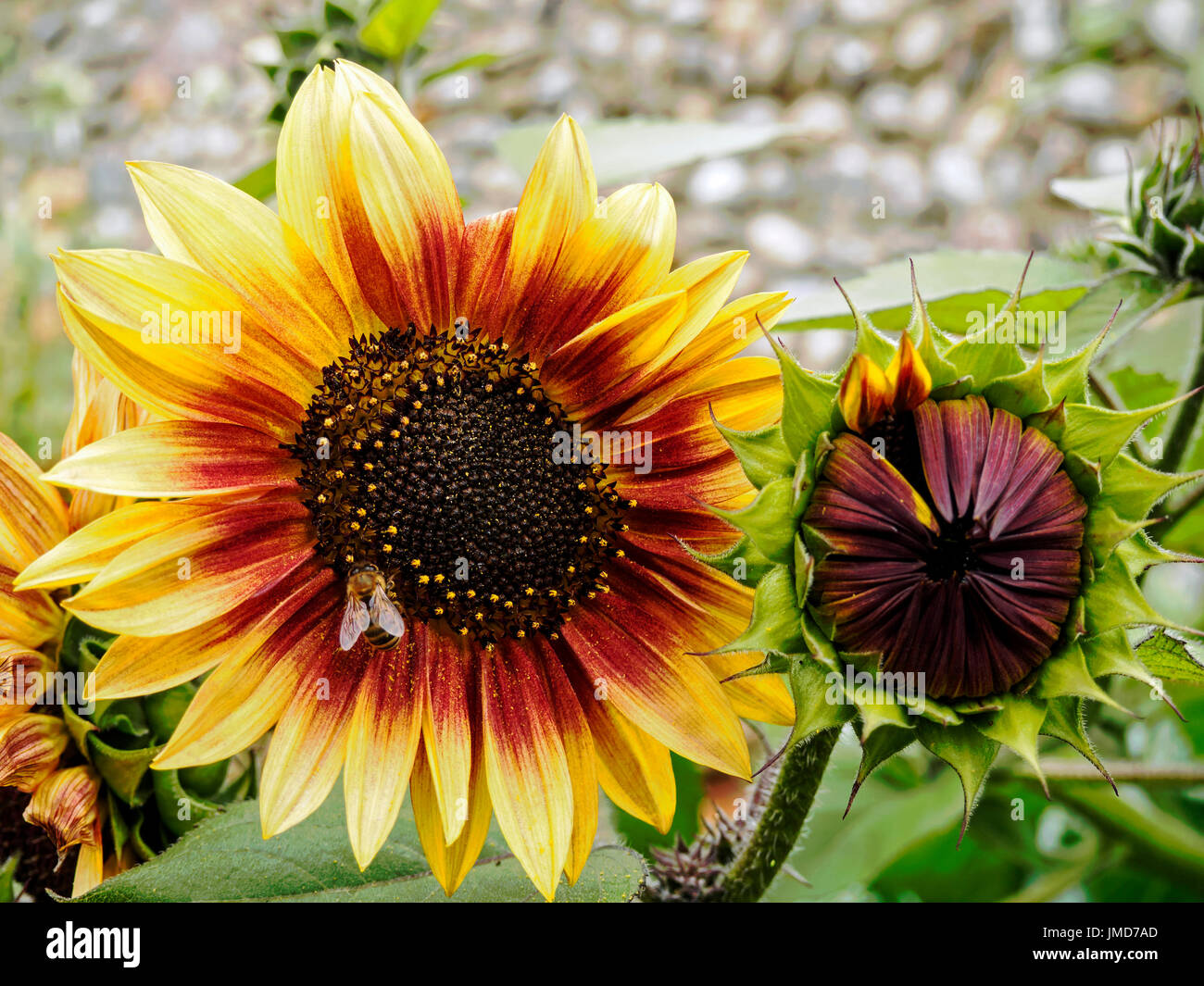 Flower and bud of sunflower Helios Flame, an F1 hybrid of Helianthus annuus. Stock Photo