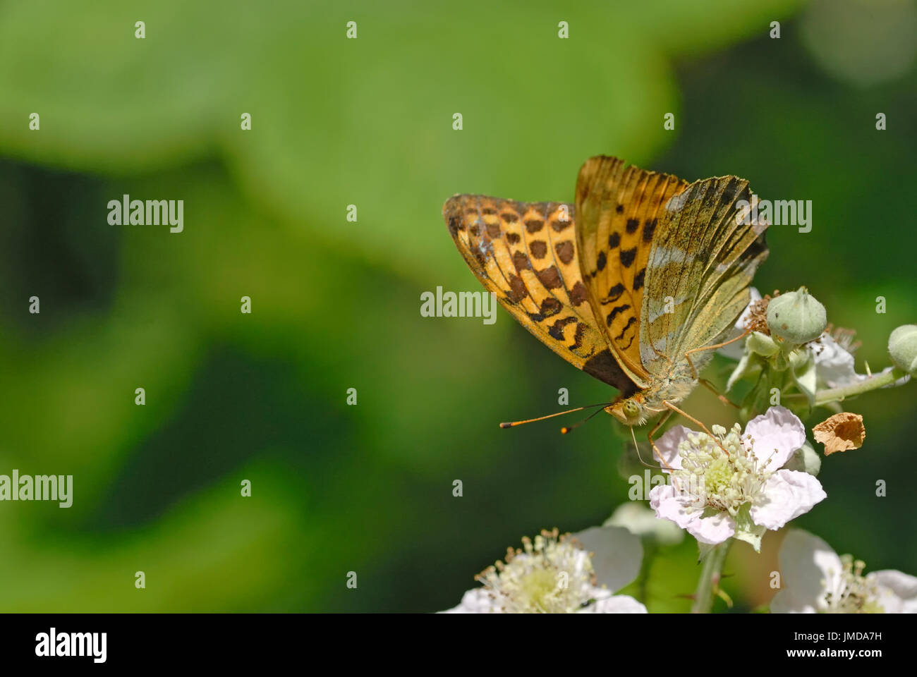A silver - washed fritillary butterfly ( Argynnis paphia ) nectaring on bramble blossom - Stock Image