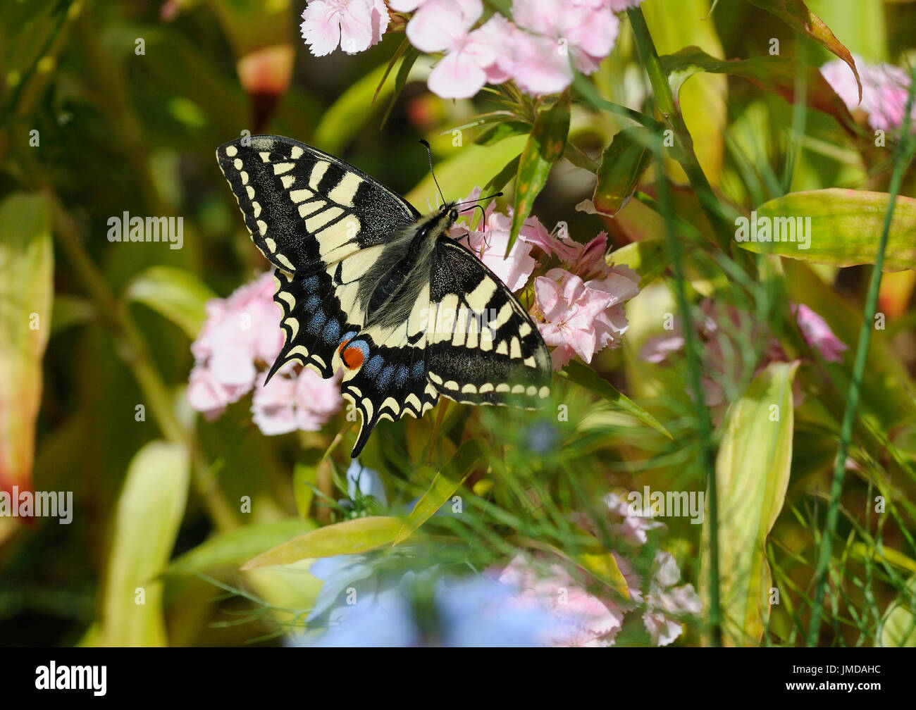 A swallowtail butterfly ( Papilio machaon ) nectaring on garden flowers - Stock Image