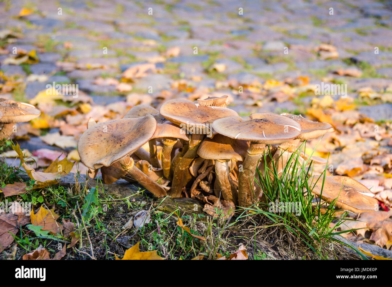 Honey fungus, or Armillaria, parasitic fungi growing in my garden in Germany in the fall. It  grows on wood, typically in small dense clumps or tufts. - Stock Image