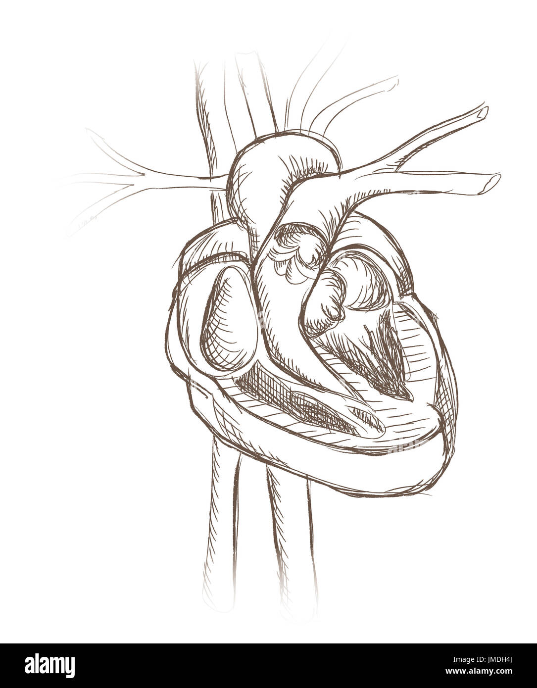 Human heart anatomy engraving. Heart structure retro sketch Stock ...