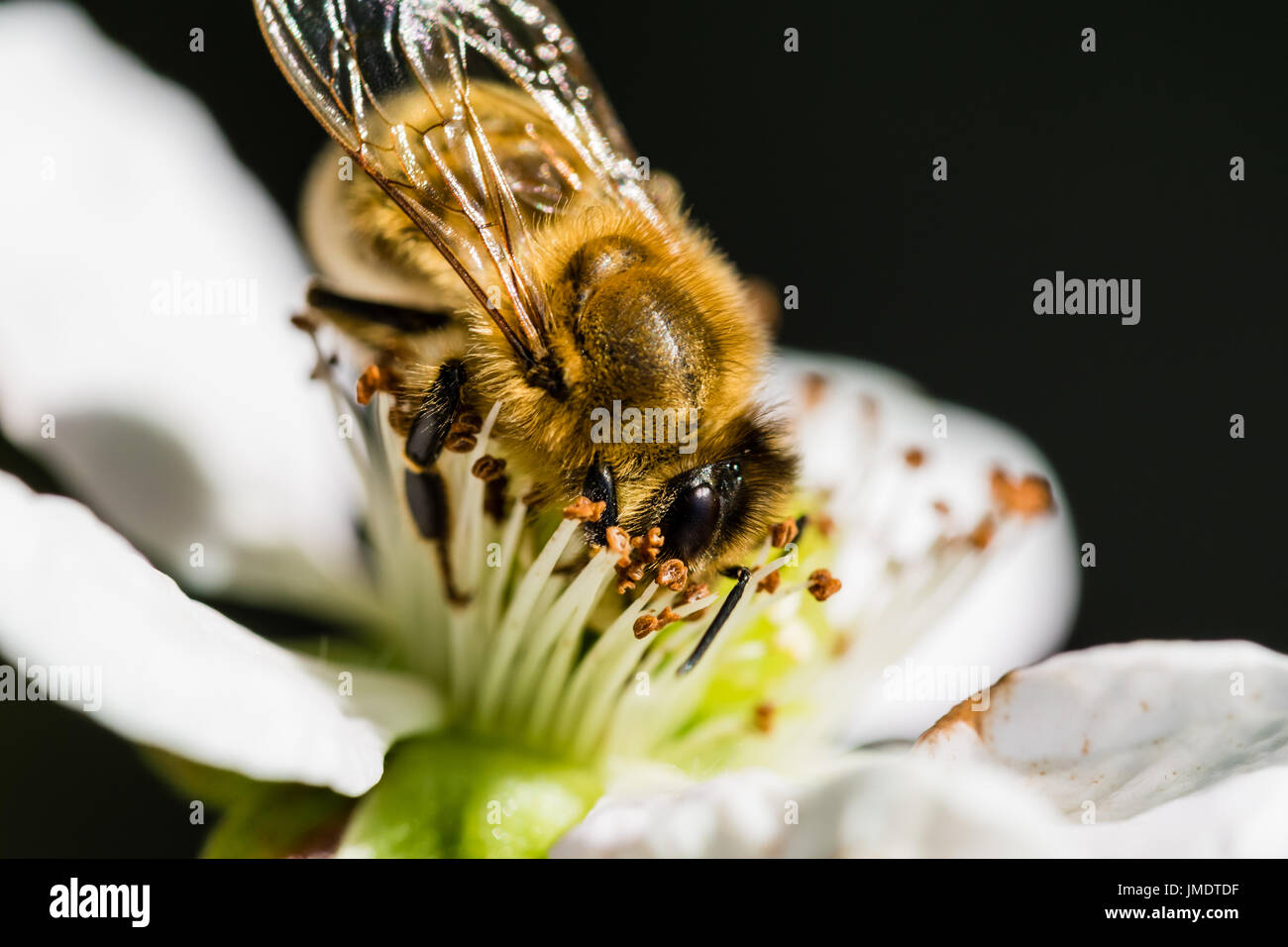 The European bee pollinating a white small flower in the spring meadow. Macro shot with dark blurry background. - Stock Image