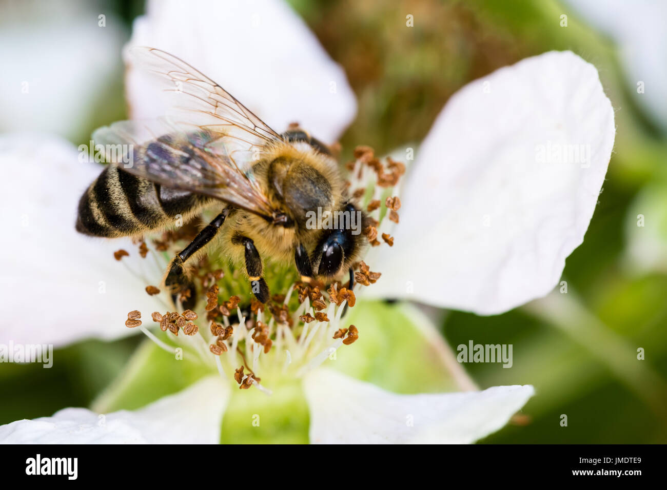 The European bee pollinating a white small flower in the spring meadow. Macro shot with dark blurry background. Stock Photo