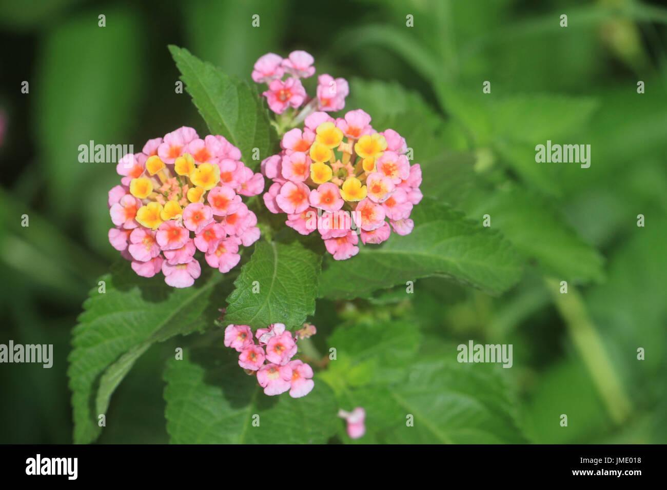 Perennial Lantana Stock Photos Perennial Lantana Stock Images Alamy