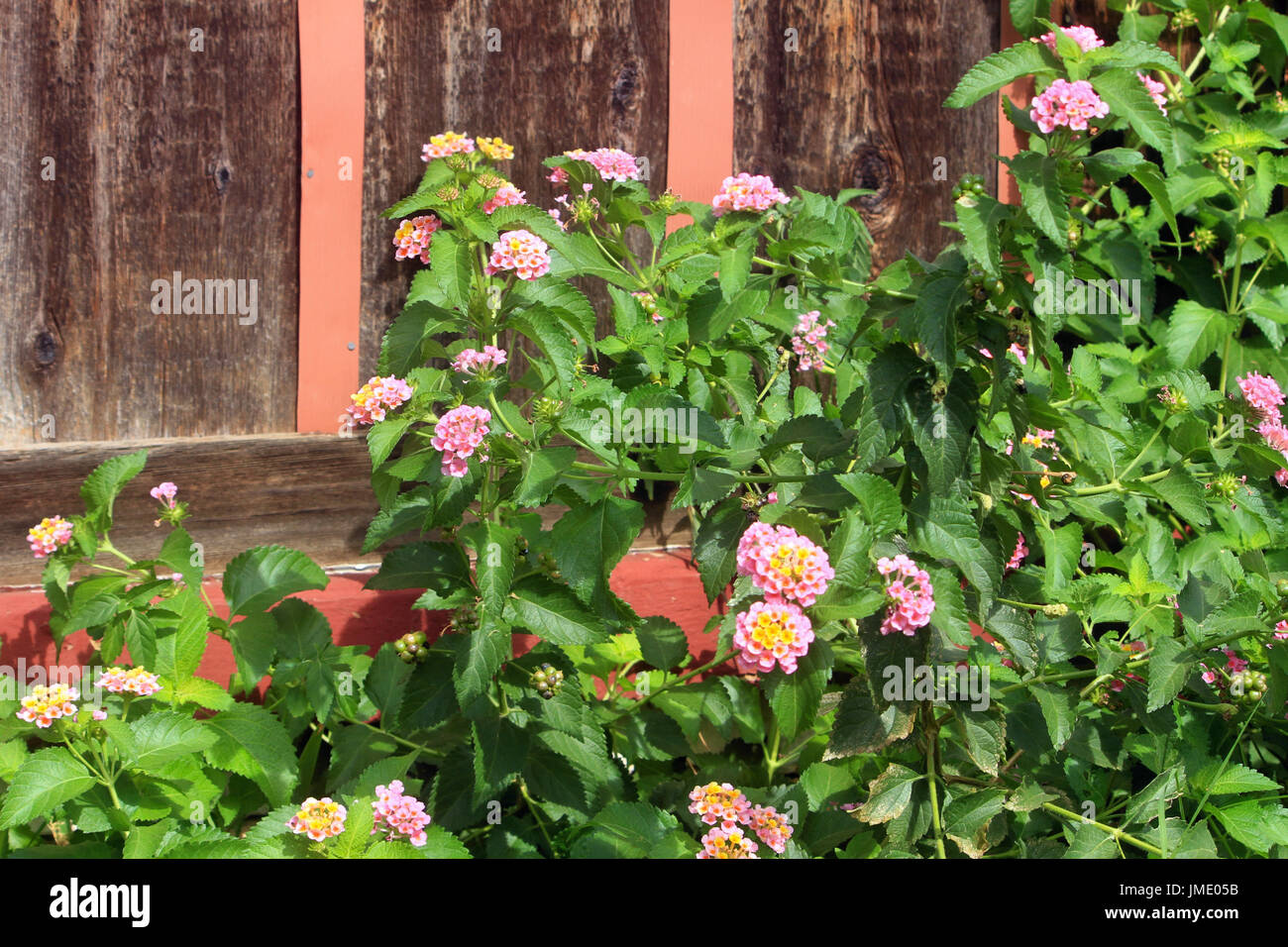 Lantana plants stand out against a wood wall. - Stock Image