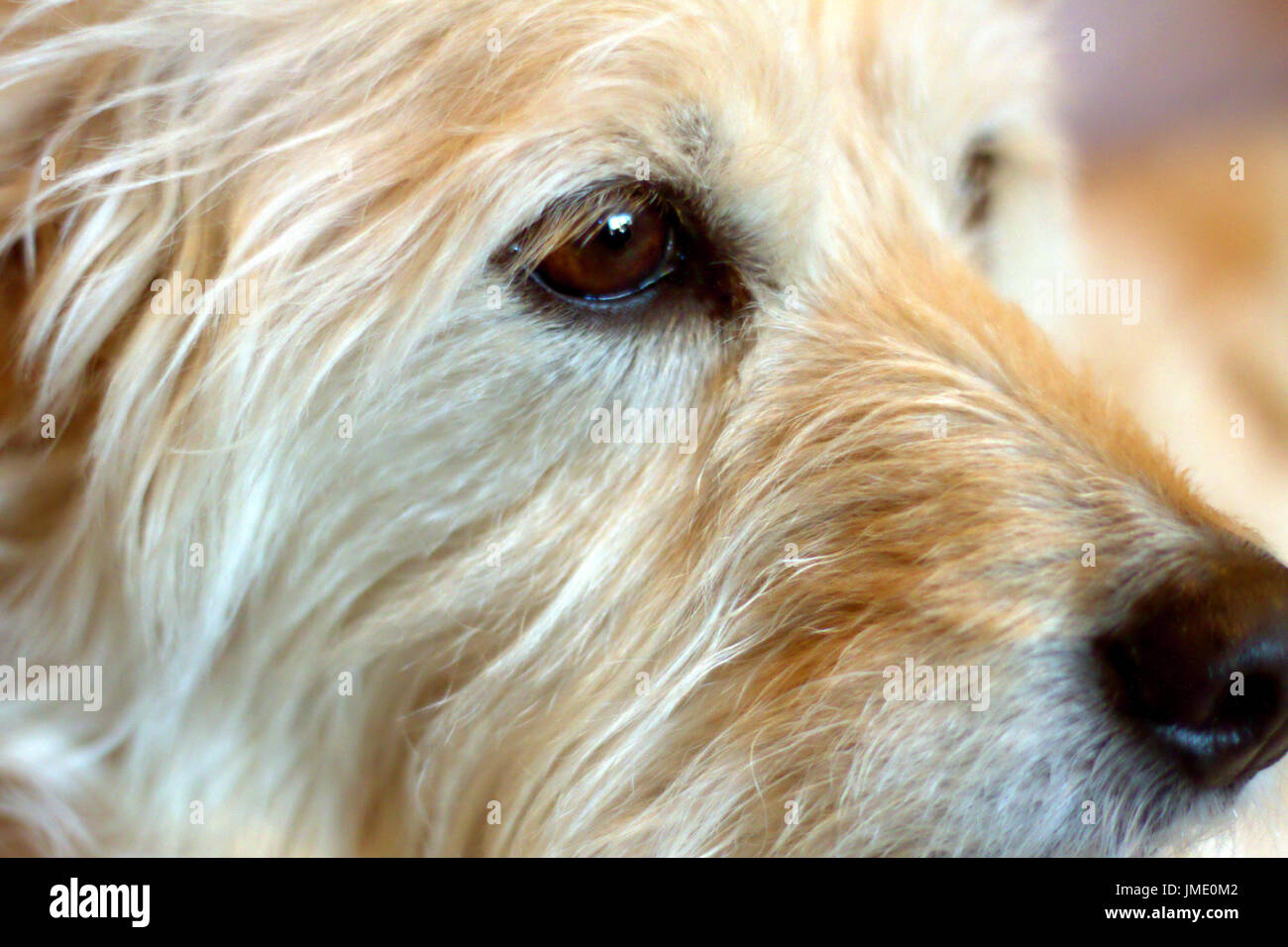 Detail of a Goldendoodle dog's eye and face in profile. - Stock Image
