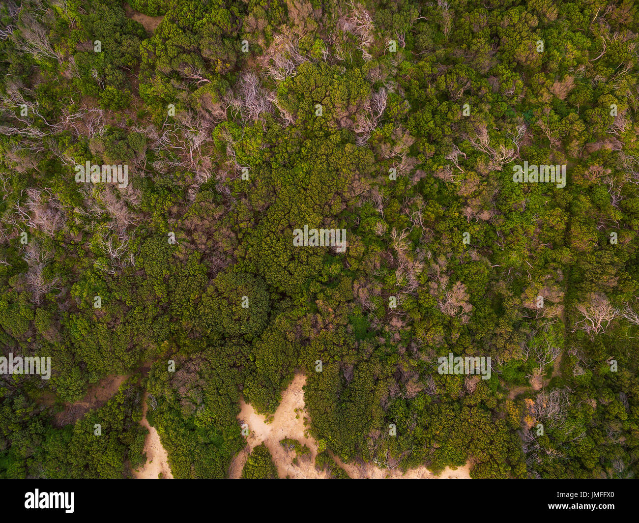 Aerial view looking straight down at green coastal vegetation tree tops - Stock Image