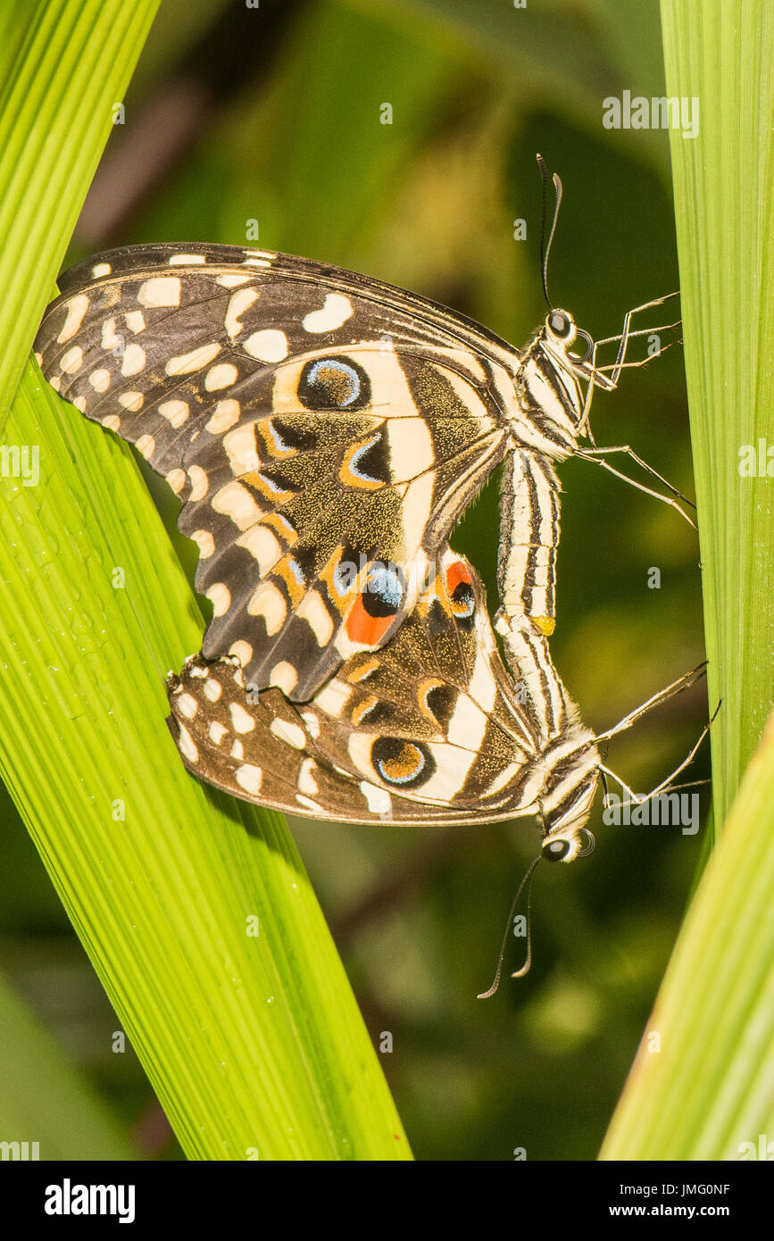 The Citrus Swallowtail butterfly Stock Photo