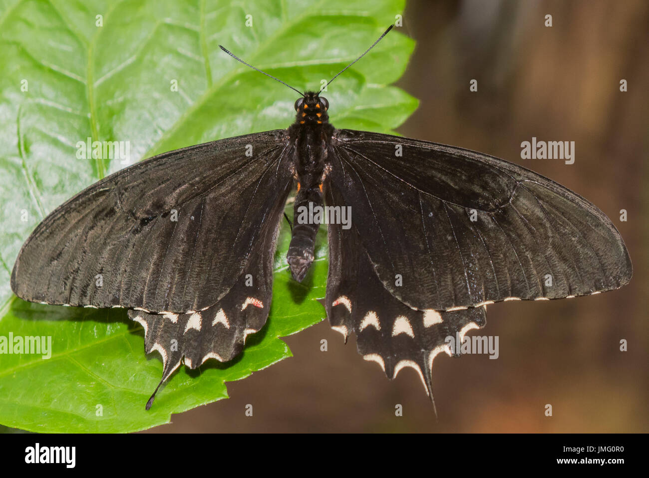 An adult Cream-banded Swallowtail butterfly - Stock Image