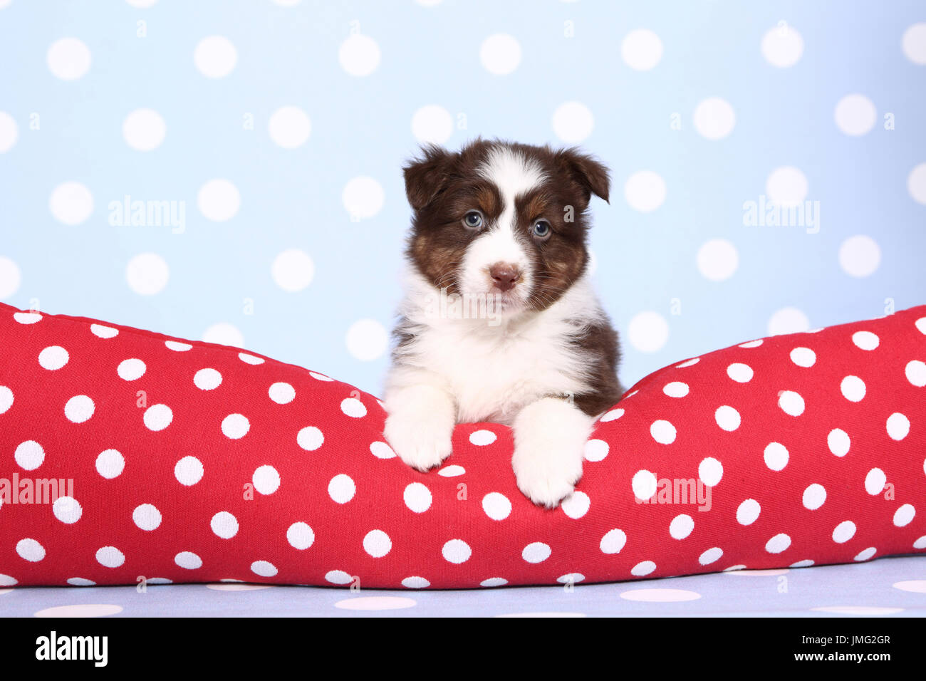 Australian Shepherd. Puppy (6 weeks old) lying on a red cushiont with white polka dots. Studio picture against a blue background with white polka dots. Germany Stock Photo