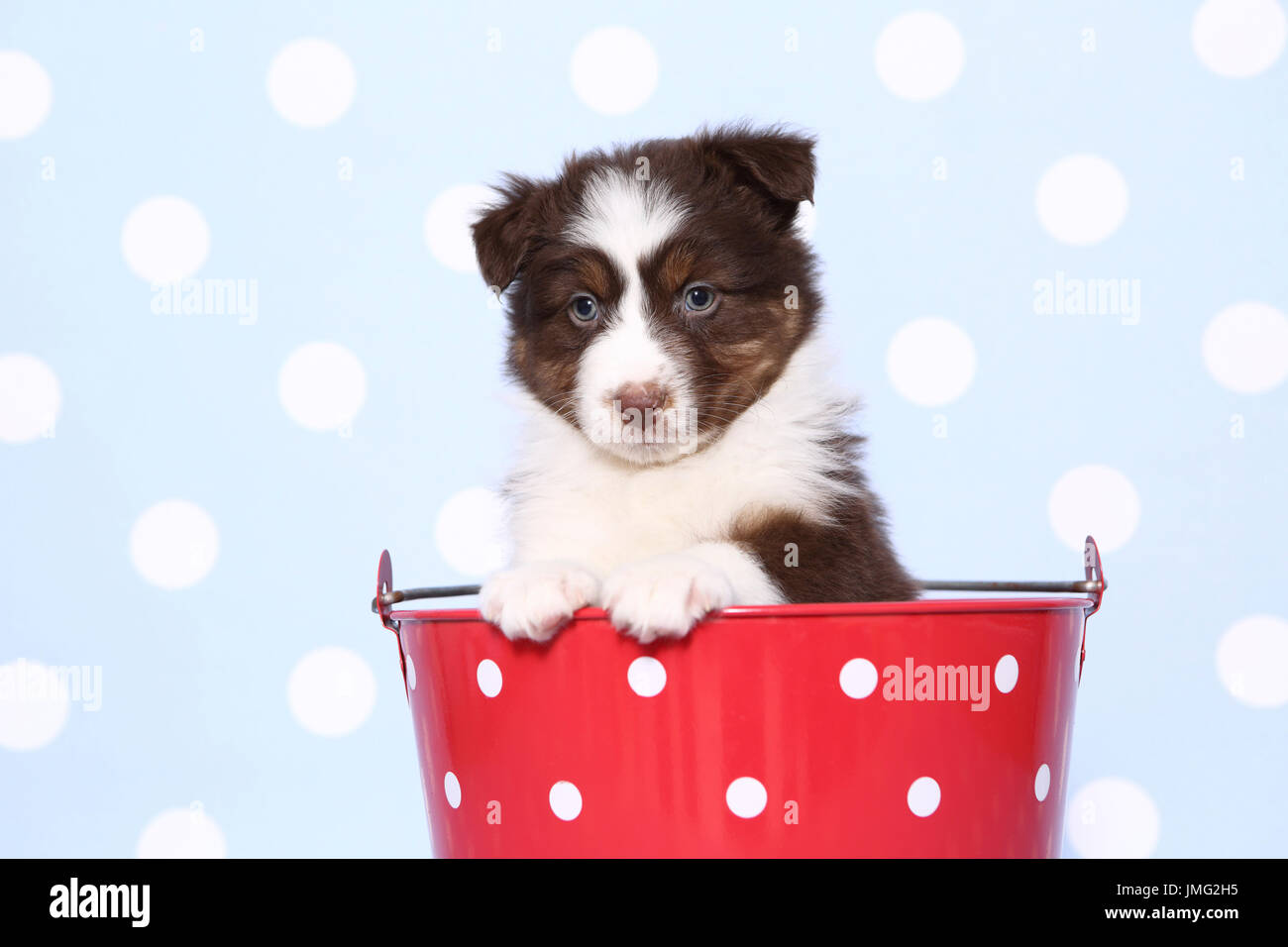 Australian Shepherd. Puppy (6 weeks old) sitting in a red bucket with white polka dots. Studio picture against a blue background with white polka dots. Germany Stock Photo