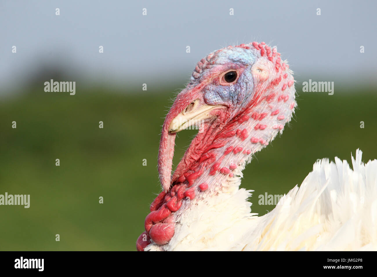 Domestic turkey. Portrait of white farm turkey. France - Stock Image