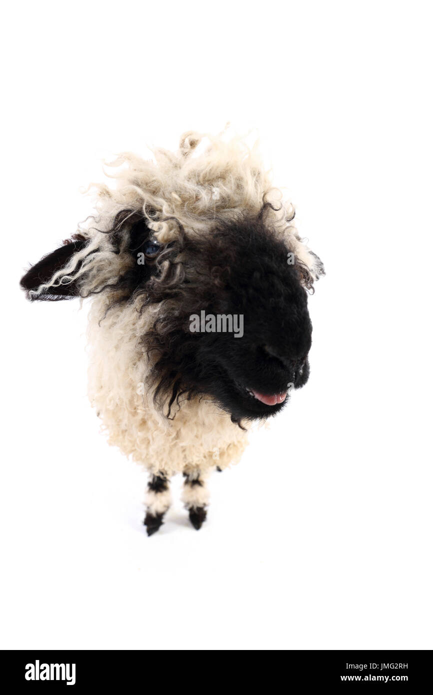 Valais Blacknose Sheep. Lamb standing while bleating. Studio picture against a white background. Germany - Stock Image