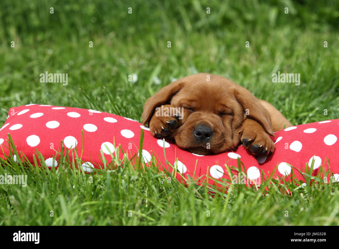 Labrador Retriever. Puppy (6 weeks old) sleeping on a red cushion with white polka dots. Germany Stock Photo