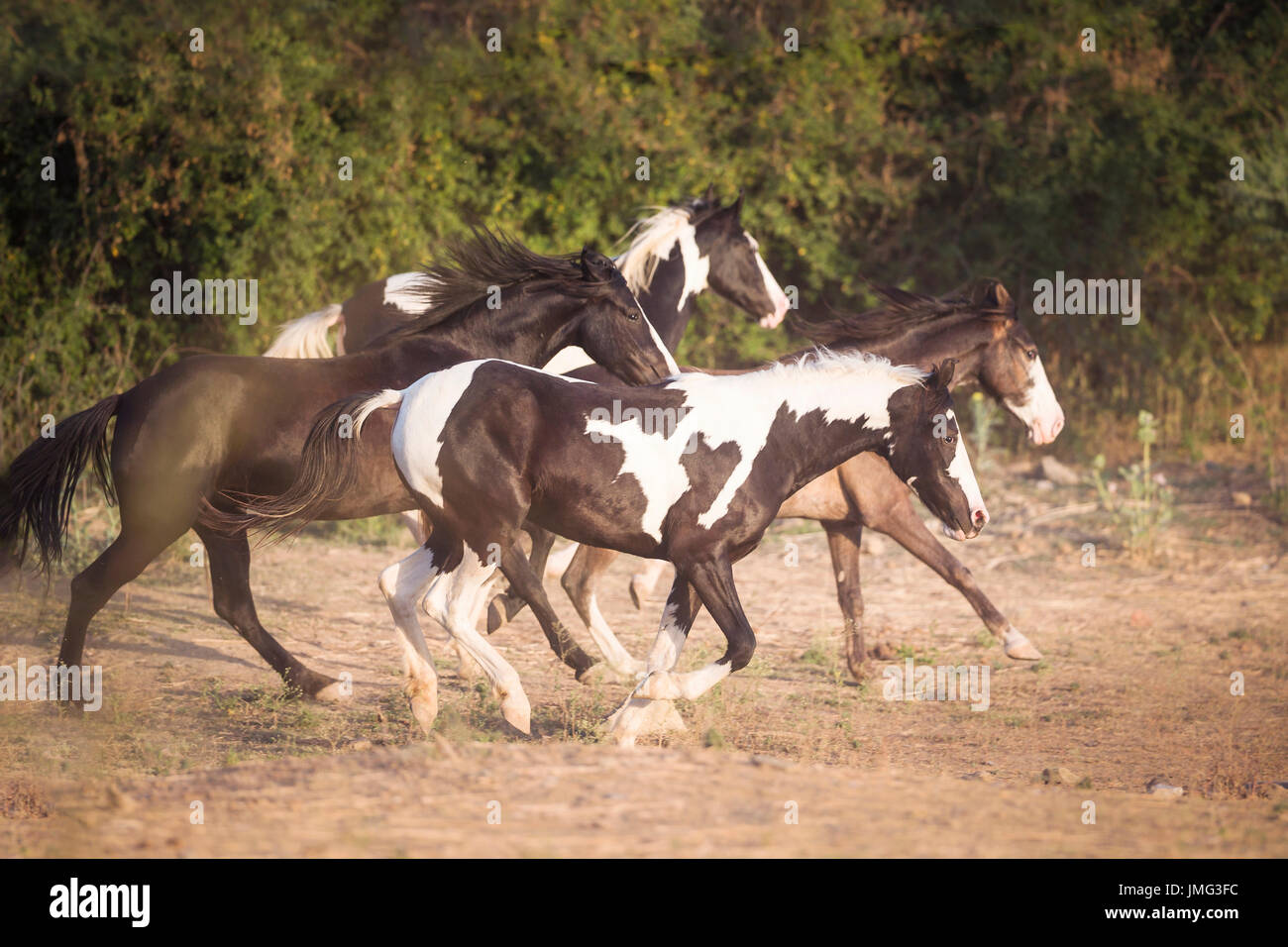Marwari Horse. Group galloping in dry grass. India - Stock Image