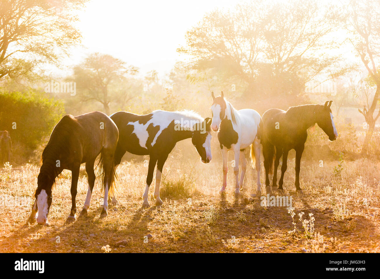 Marwari Horse. Group standing in evening light. India - Stock Image