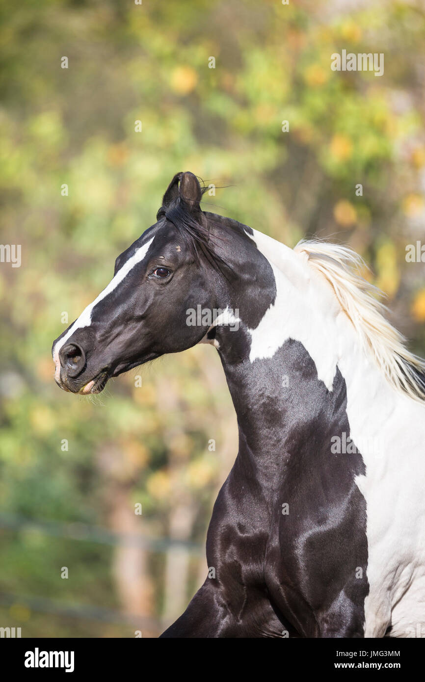 Marwari Horse. Portrait of piebald stallion. India - Stock Image