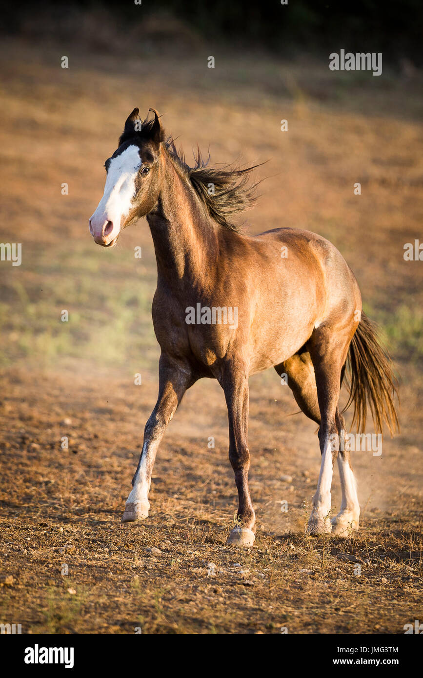 Marwari Horse. Juvenile mare walking on dry grass, evening light. India - Stock Image