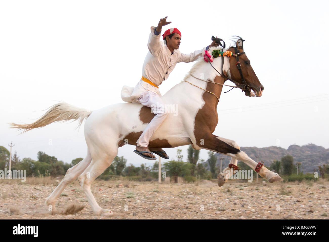 Marwari Horse. Rider on skewba...