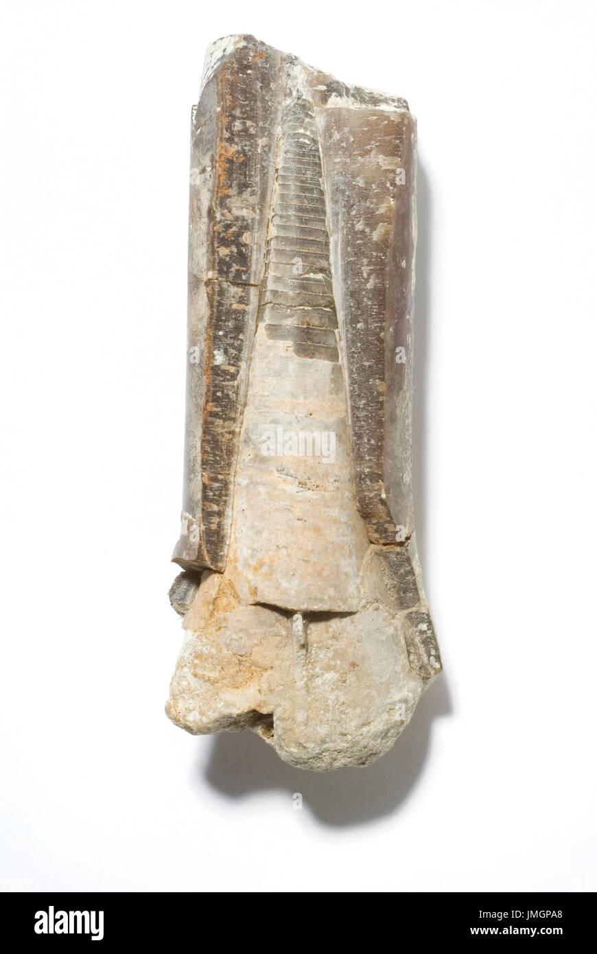 Fossil Belemnite Phragmocone - Stock Image