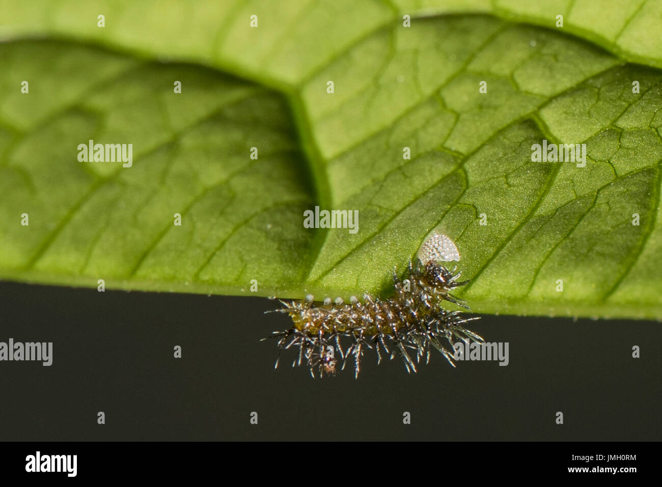 A newly hatched larva of the Clipper butterfly eating its shell - Stock Image