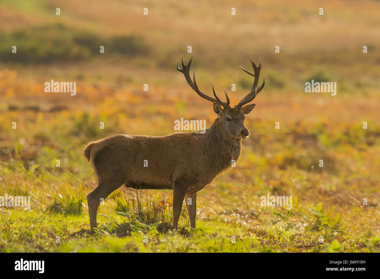 A Red deer stag during the rutting season Stock Photo