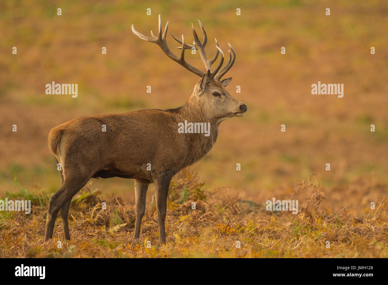 A Red deer stag during the rutting season - Stock Image