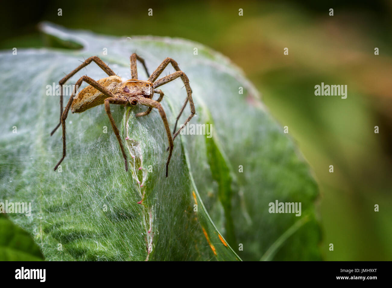 UK wildlife: Pisaura mirabilis - Nursery web spider protecting tent-style nest she has spun. Her babies are underneath. - Stock Image