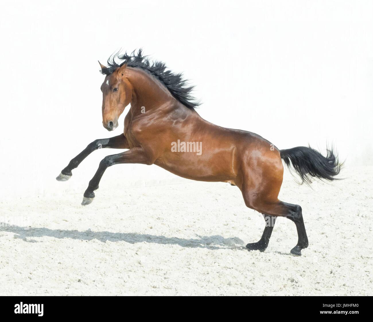 Bay Horse prancing - Stock Image