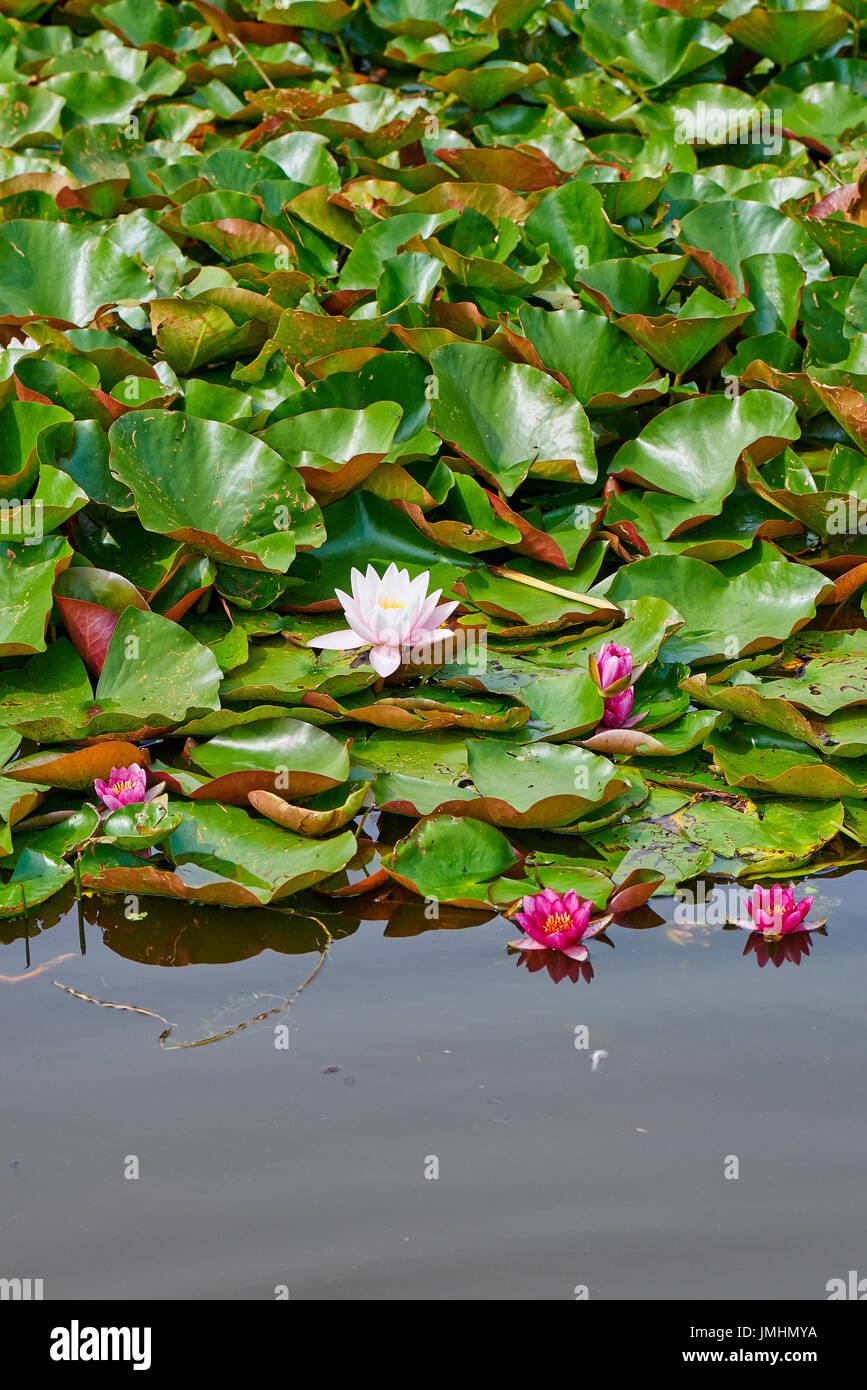 Pink color lotus blooming in pond flowers of nenuphar nymphaea pink color lotus blooming in pond flowers of nenuphar nymphaea with leaves izmirmasajfo