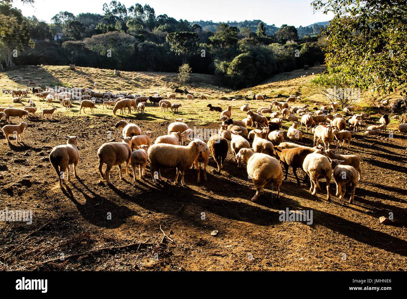 Sheep husbandry at Linha Babenberg. Treze Tilias, Santa Catarina, Brazil. - Stock Image