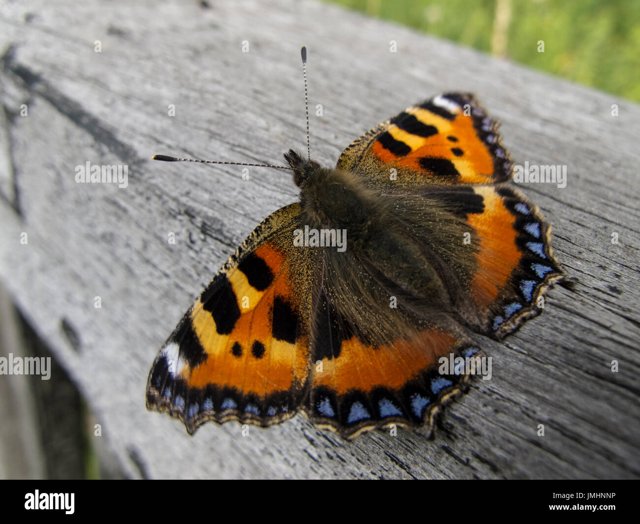 Small Tortoiseshell, Aglais urticae Butterfly resting on a fence rail. - Stock Image