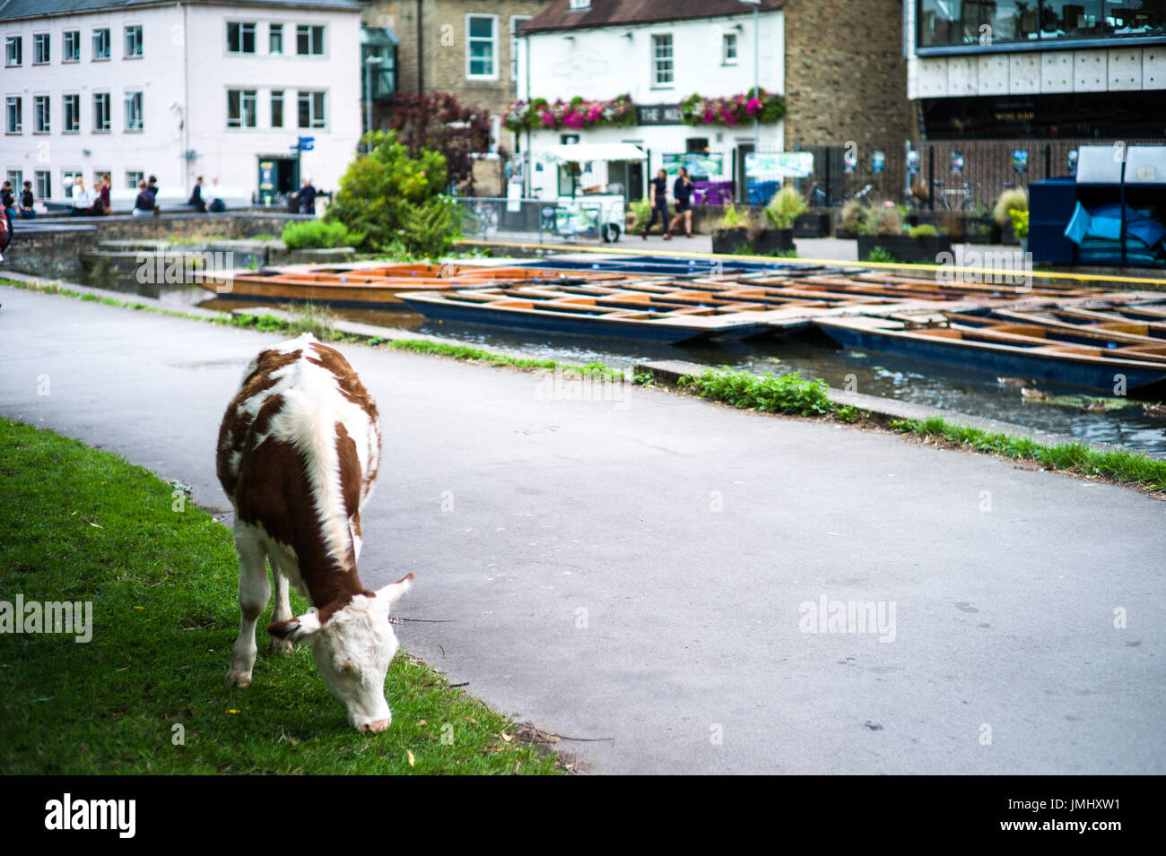 Cambridge Cows - Cows wander freely on the backs in Cambridge, near the River Cam - Stock Image