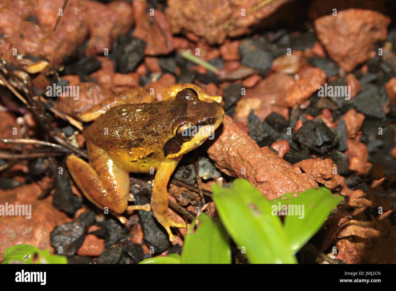 Amboli Leaping Frog - Stock Image